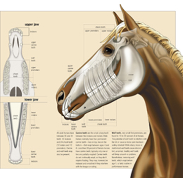 equine teeth